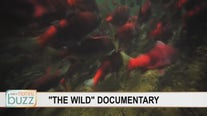 Protecting a species: New documentary on Alaskan Sockeye Salmon