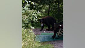 DNR: Bear sightings on the rise in northern Minnesota due to natural food shortage