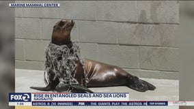 Seals and Guadalupe fur seals are getting entangled in fishing gear and plastic
