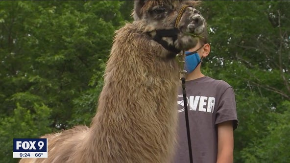 Minnesota camp kids get lesson in empathy during llama visit