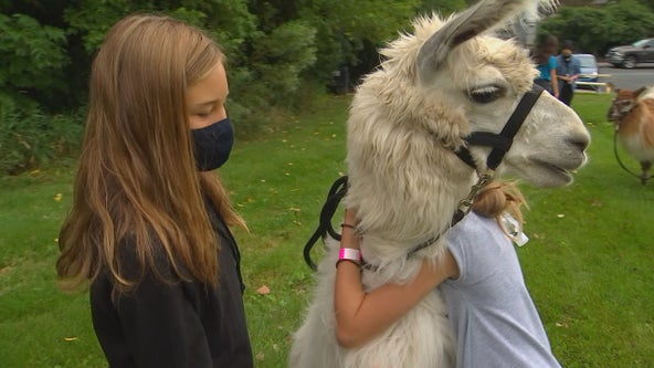 Minnesota summer camp kids get lesson in empathy during llama visit