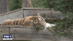 Minnesota animal sanctuary takes in wildcats from all over the world