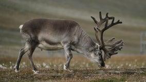 Half of Minnesota Zoo reindeer herd killed by seasonal disease, other half infected