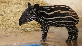 Endangered baby Malayan tapir born at Minnesota Zoo over the summer