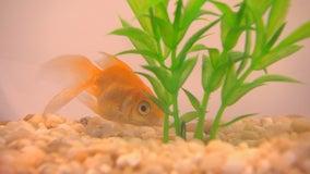 Fishing for fun? Wayzata-based company mails live goldfish