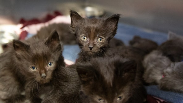 36 cats rescued from overcrowded Bloomington home, will soon be available for adoption