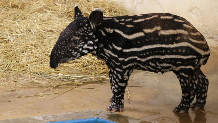 Minnesota Zoo baby tapir