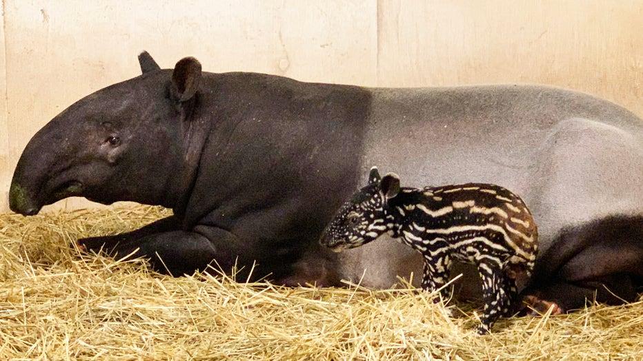 Minnesota Zoo tapirs