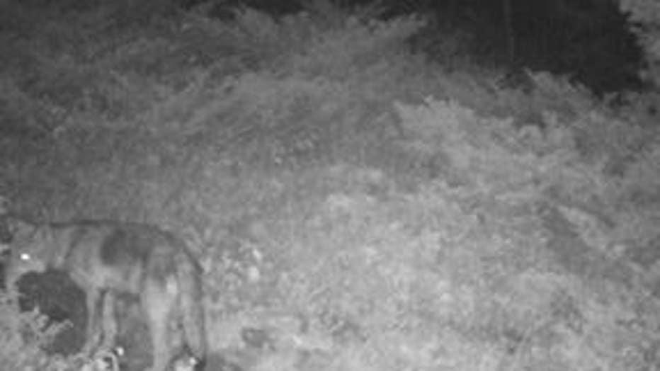 wolf pup on isle royale