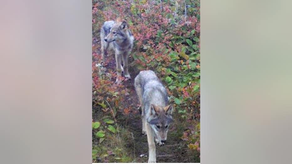 Isle Royale National Park wolf pups