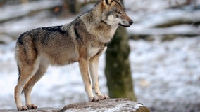 Trump officials remove gray wolf from endangered list, DNR opposes the move