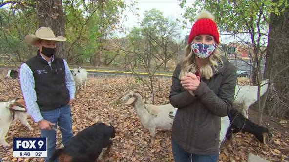 Goats clean up Normandale Community College trails