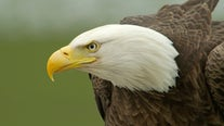 Reward offered for suspects who dumped eagle parts in Woodbury