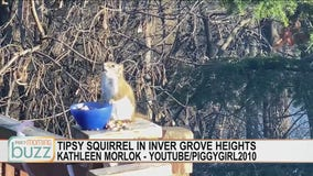 Tipsy squirrel in Inver Grove Heights, Minnesota