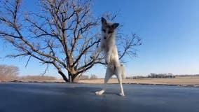 Video: Happy fox jumps on trampoline at Minnesota sanctuary