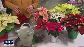 Decorating with Holiday Poinsettias