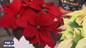 Picking out the perfect poinsettia for the holiday season