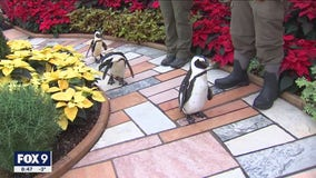 Penguins check out the Holiday Flower Show at Como