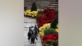 Penguins, armadillos explore closed conservatory at Como Zoo
