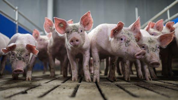 PETA mocked on social media for claiming insults like 'pig,' 'chicken' hurt animals