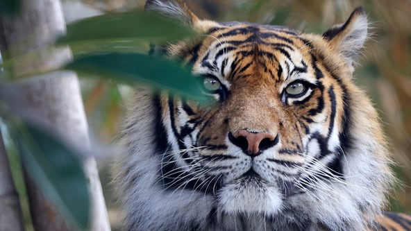 Tiger at Minnesota wild cat sanctuary tests positive for COVID-19 virus