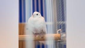 Prince's white dove, Divinity, passes away