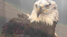 Bald eagle treated at U of M Raptor Center finds new home at zoo