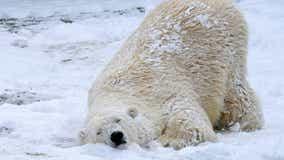 Como Zoo introduces new female polar bear named Nan