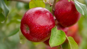 'Triumph': University of Minnesota names new apple