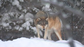 Wisconsin hunters exceed wolf target by nearly 100 animals