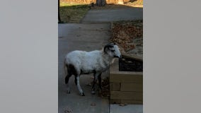 Sheriff's office seeks owners of goat found wandering Andover