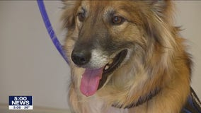 St. Paul police's Sgt. Fuzz becomes nation's first therapy dog certified a first responder in nation