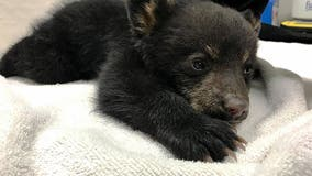 Minnesota bear cub rescued from tree, brought to Wisconsin rehabilitation center