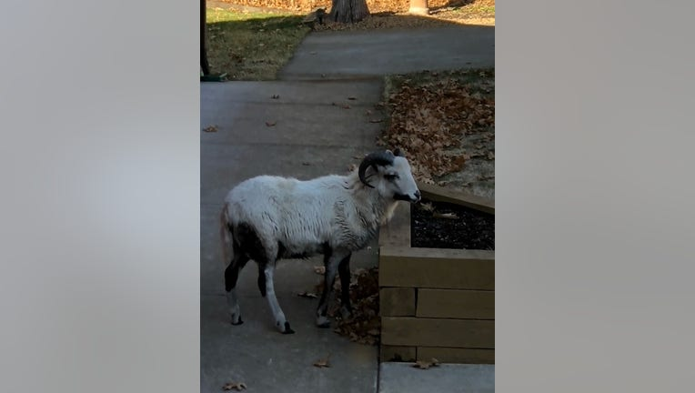 Andover goat