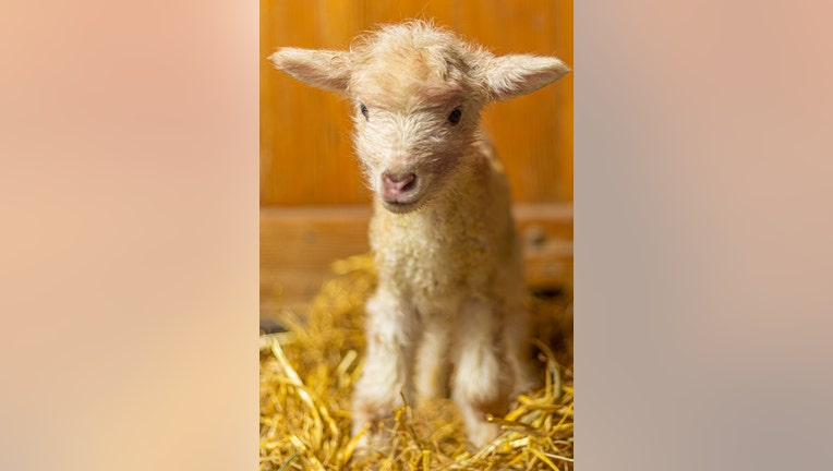 Minnesota Zoo farm babies lambs