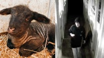 Inver Grove Heights family says newborn lamb stolen from barn