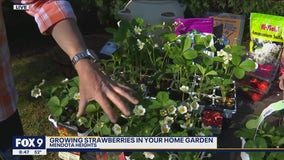 Growing strawberries in your own backyard with Dale K