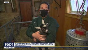 It's farm babies time at the Minnesota Zoo