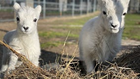 2 Dall's sheep born at Como Zoo get weather-inspired names