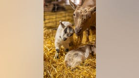 Visit Minnesota Zoo's Farm Babies in-person or online