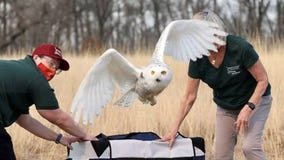 Owl rescued by plow driver and naturalist released back into wild
