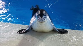 1 of 2 remaining Hawaiian monk seals at Minnesota Zoo dies