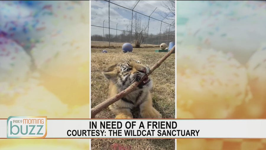 Search is on to find companion for tiger cub at The Wildcat Sanctuary