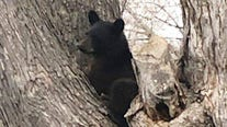 More bears are stealing food from campers as drought impacts berry supply in northern Minnesota