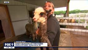 Baby season has begun at Alpaca farm in River Falls