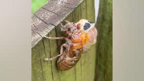 Brood X cicada molts its exoskeleton after emerging from the ground after 17 years