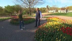 Tulips bloom at the Minnesota Landscape Arboretum