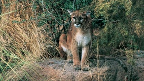 Attracted to taxidermy, mountain lion shatters window to enter San Bruno home