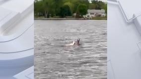 Rare albino deer spotted swimming in Lake Poygan in Wisconsin