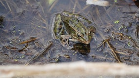 Un-Frog-getable: What happened to Minnesota's deformed frogs?